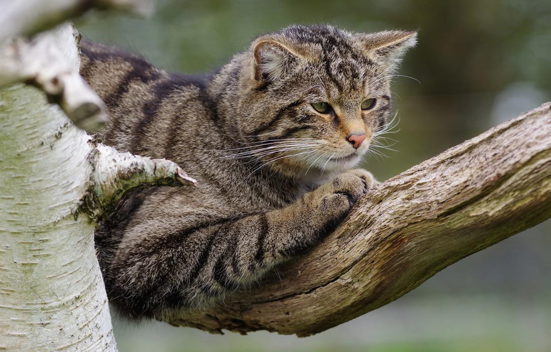 Фото обои кошка, кот, поза, серый, ветка, полосатый, дикий, лесной, дикий кот