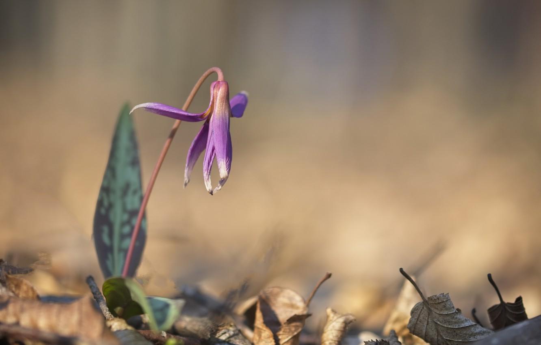 Фото обои цветок, природа, весна