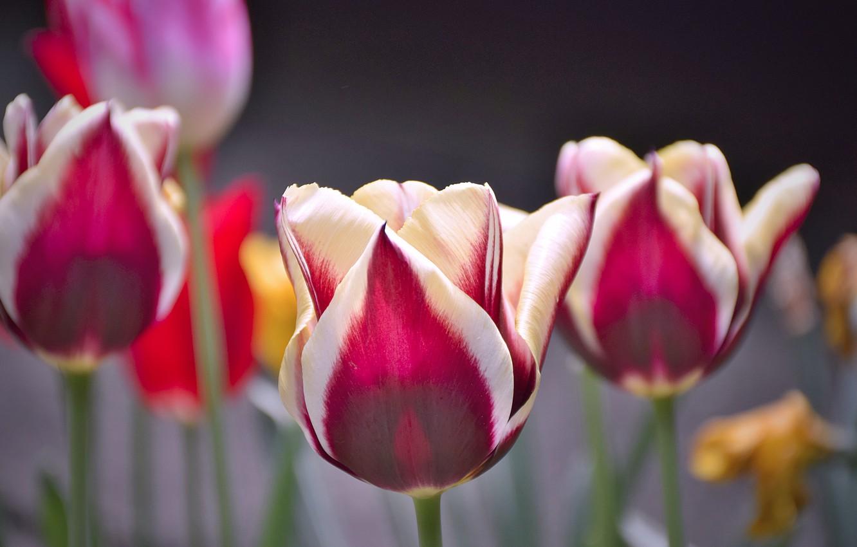 Фото обои Тюльпаны, Flowers, Tulips