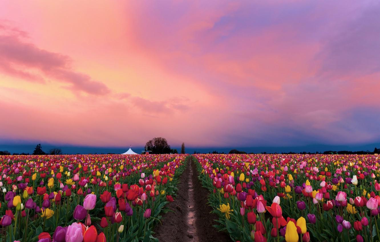 Фото обои поле, цветы, весна, вечер, тюльпаны, разноцветные, плантация, розовое небо, тюльпановое поле