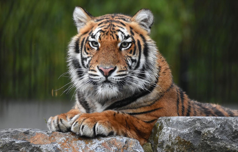 Фото обои взгляд, морда, тигр, камни, портрет, хищник, дикая кошка