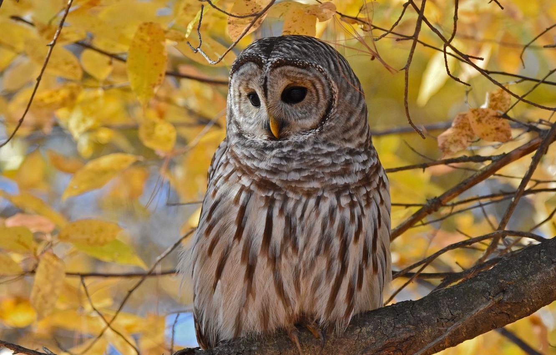 Фото обои осень, листья, ветки, сова, птица, листва, желтые, неясыть, пестрая