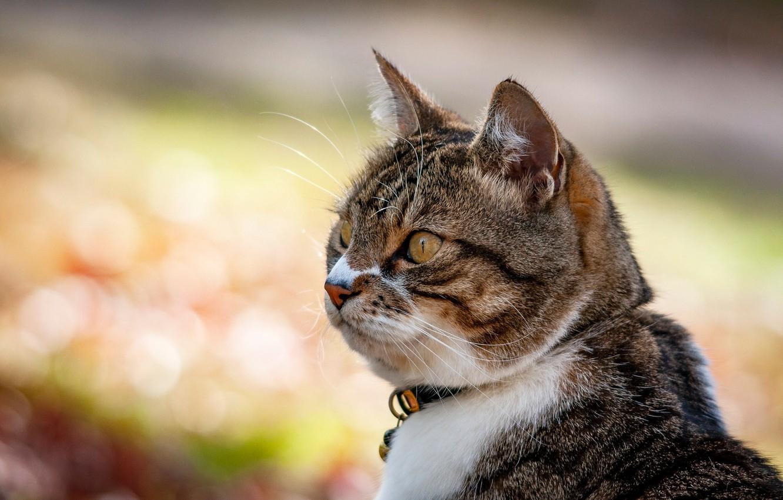 Фото обои кот, взгляд, фон, портрет, мордочка, котейка