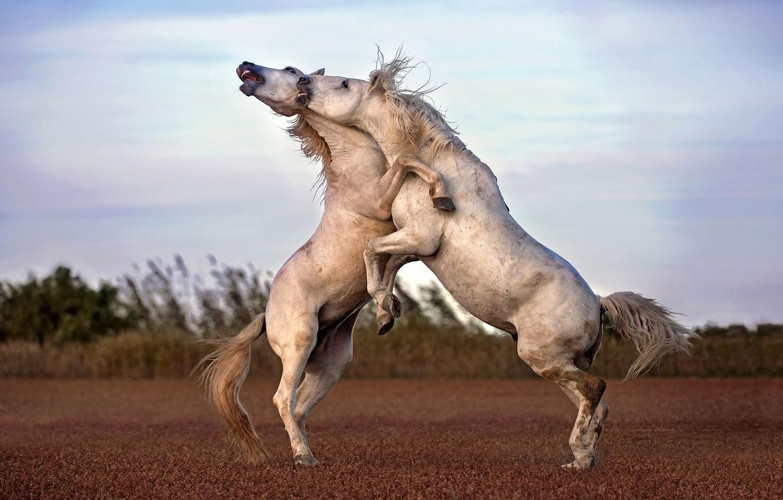 Фото обои игра, лошади, парнокопытное
