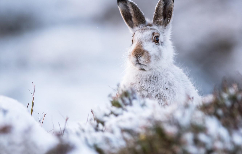 Фото обои зима, взгляд, заяц, мордочка, уши, боке