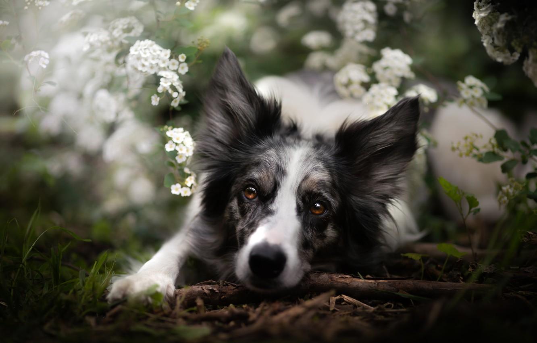 Фото обои взгляд, морда, цветы, собака, Бордер-колли