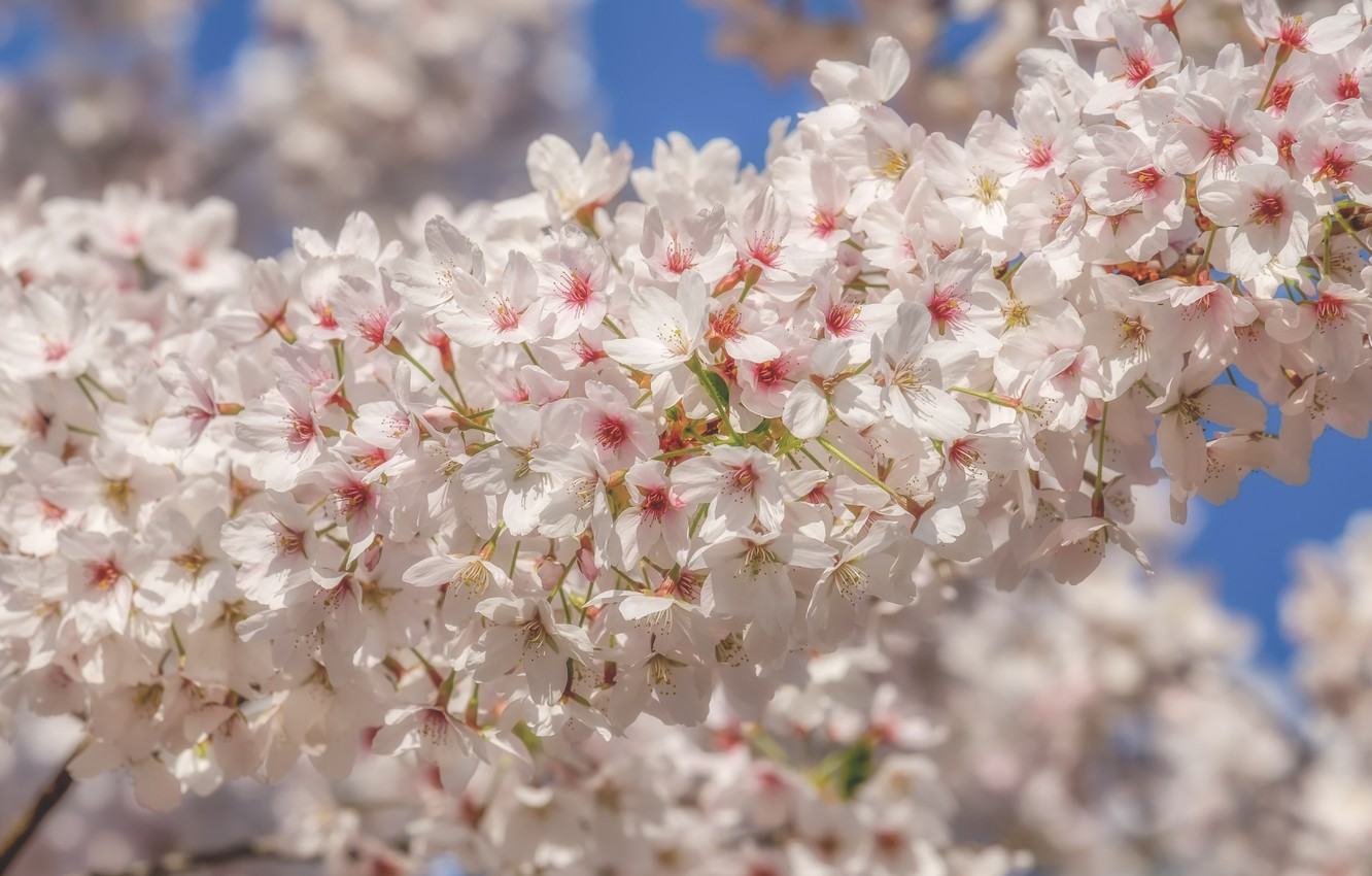 Фото обои вишня, весна, white, цветение, blossom, flowers, beautiful, macro, cherry, spring, bloom
