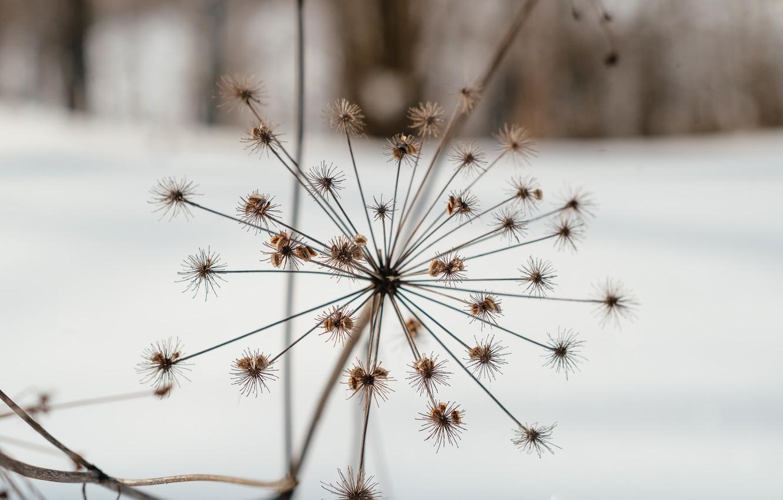 Фото обои зима, природа, отдых, растение, прогулка, борщевик