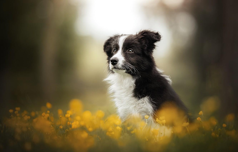 Фото обои цветы, собака, щенок, боке