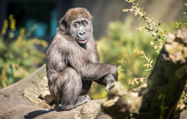 Фото обои обезьяна, зоопарк, Gorilla