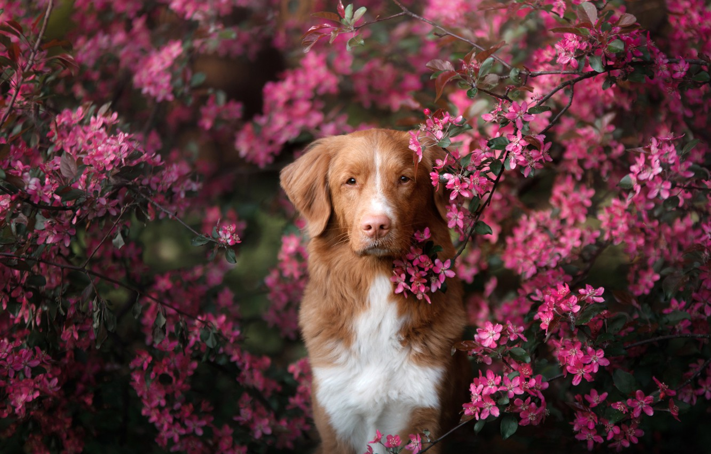 Фото обои взгляд, ветки, дерево, портрет, собака, весна, цветение, цветки, Новошотландский ретривер