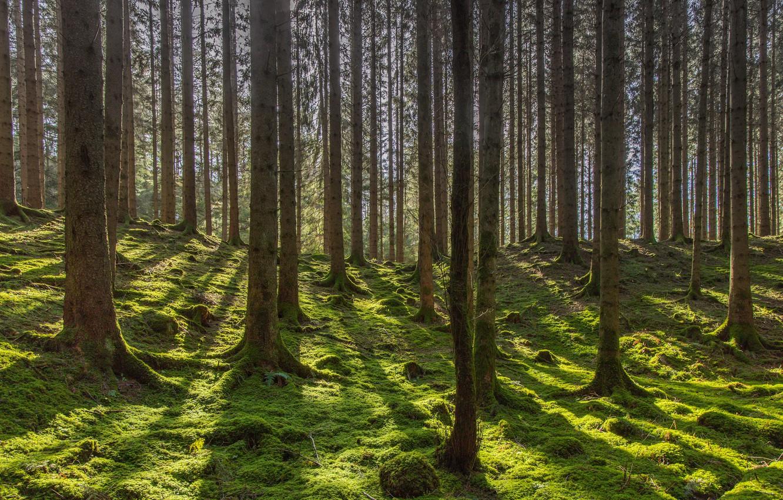 Фото обои лес, деревья, мох