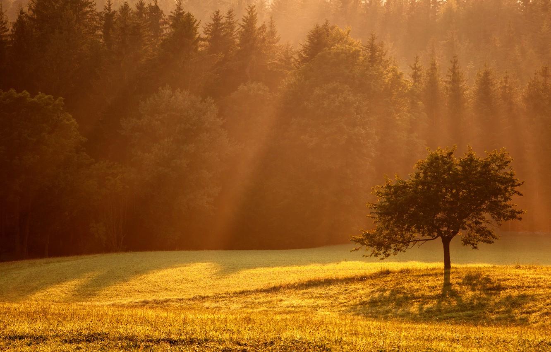 Фото обои свет, дерево, поляна