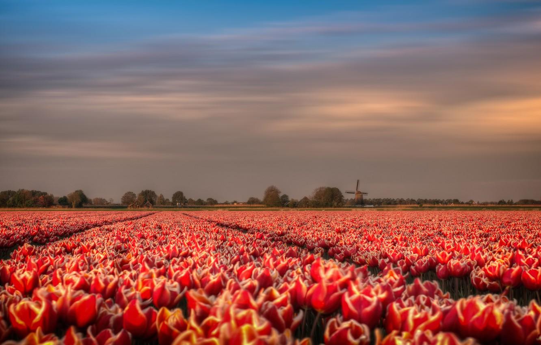 чтобы маковые поля в голландии фото ничего удивительного том