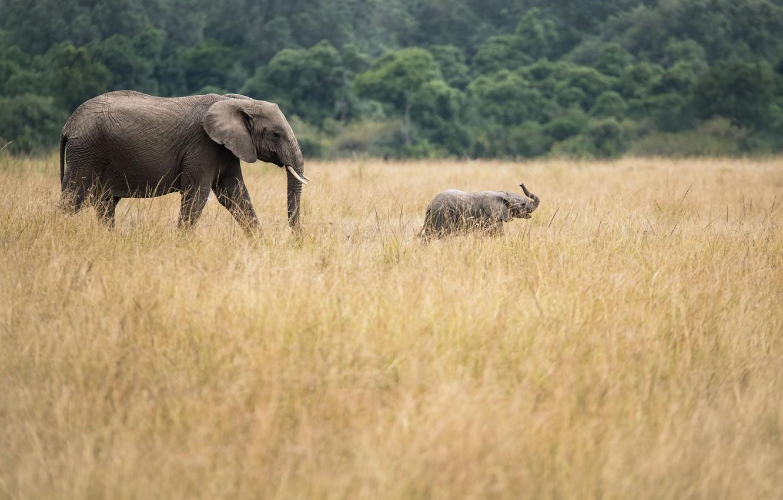 Фото обои elephants, baby elephant, african elephants