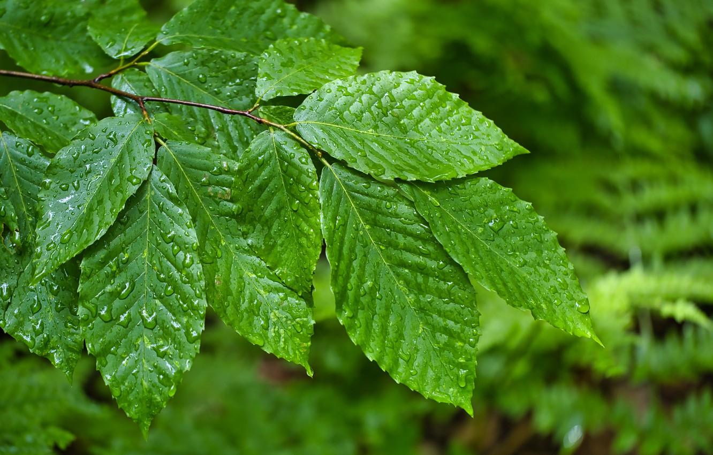 Фото обои зелень, листья, капли, природа, ветка
