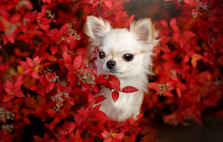 Фото обои взгляд, собака, мордашка, пёсик, Чихуахуа, собачонка, Светлана Писарева