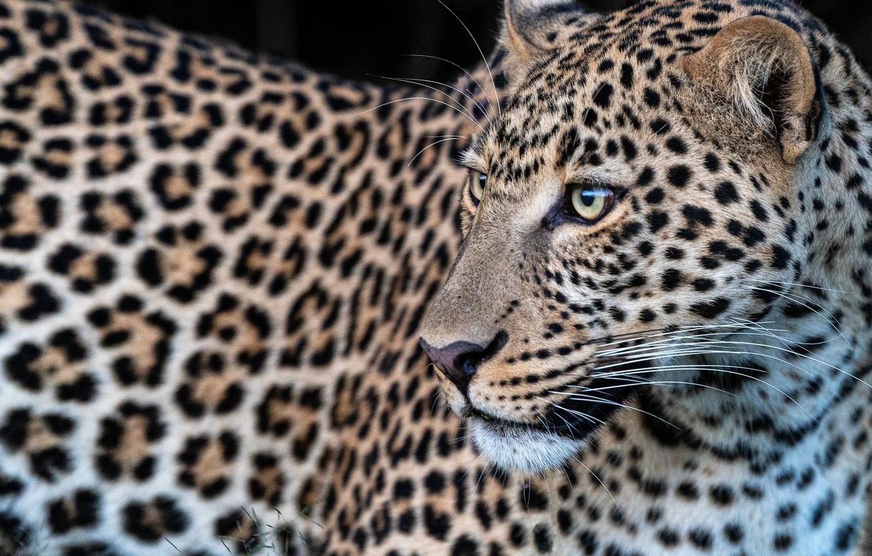 Обои леопард, Кошка, морда. Кошки foto 6