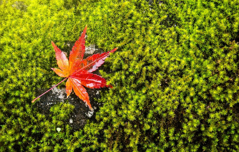 Фото обои осень, трава, лист, зеленый, фон, мох, клен, autumn, leaf, maple