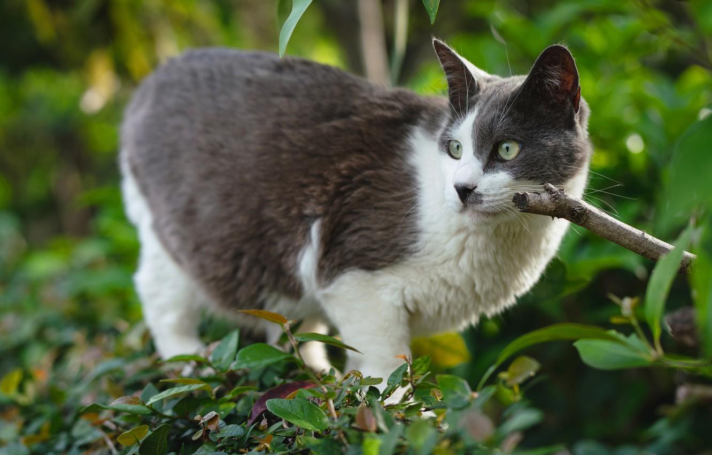 Фото обои зелень, кошка, кот, взгляд, морда, листья, ветки, природа, поза, серый, фон, листва, сад, кусты, зеленые …