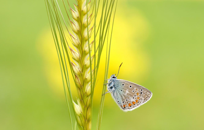 Фото обои лето, макро, желтый, зеленый, фон, бабочка, рожь, насекомое, серая, колосок, злак
