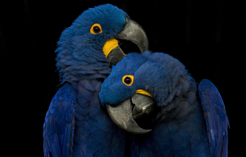 Фото обои blue, playing, parrots, picks
