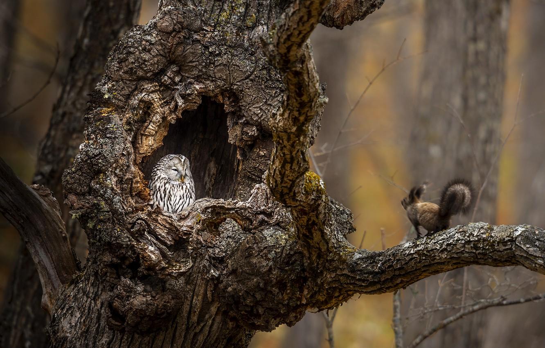 Фото обои дерево, сова, белка, tree, дупло, owl, squirrel, hollow