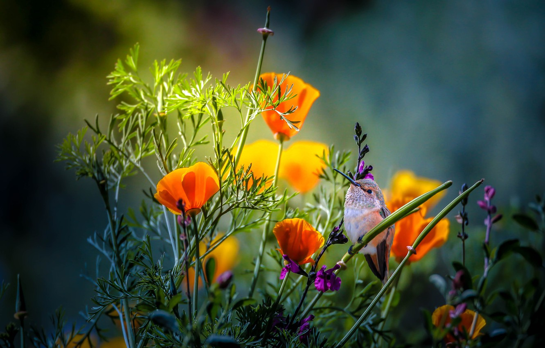 Фото обои лето, цветы, природа, колибри, птичка, Thai Phung