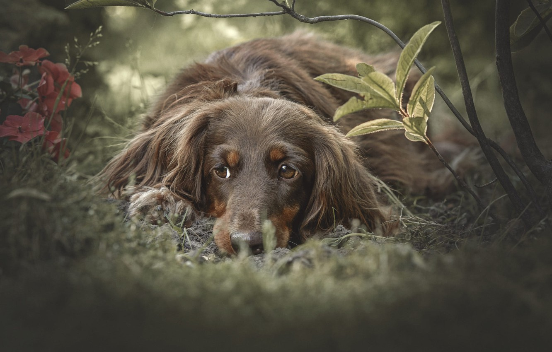 Фото обои трава, взгляд, цветы, ветки, природа, животное, собака, пёс
