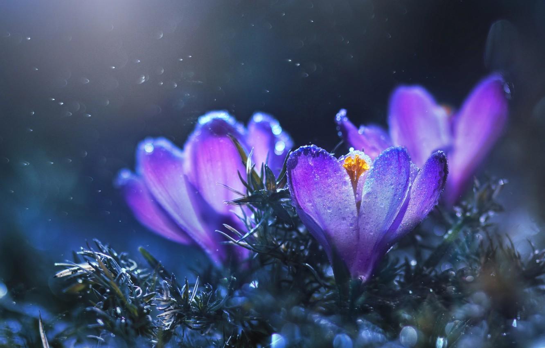 Фото обои трава, вода, капли, макро, цветы, природа, весна, крокусы, боке