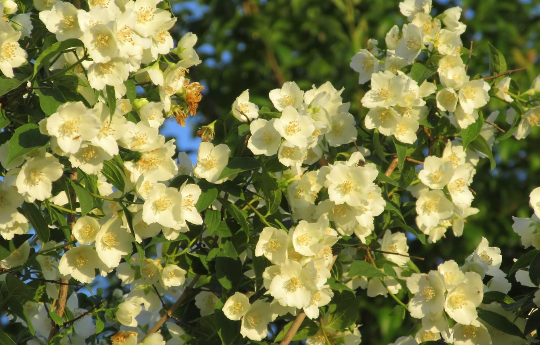 Фото обои цветы, жасмин, весна 2018, Mamala ©