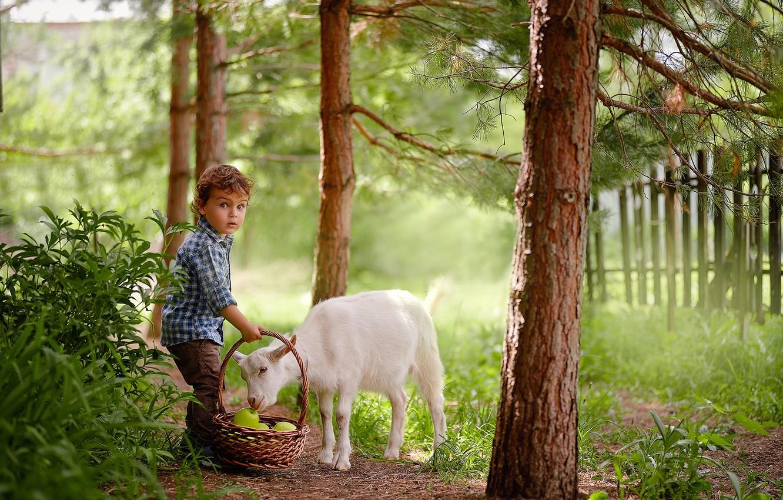 Фото обои лето, деревья, природа, животное, корзина, яблоки, забор, мальчик, малыш, ребёнок, козлёнок, Подковыров Константин