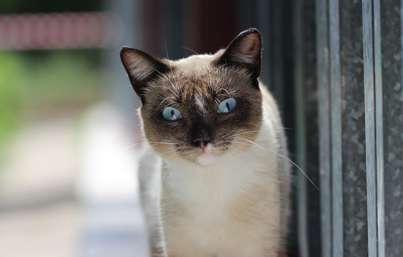 Фото обои кот, фон, котейка