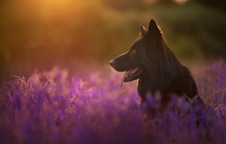 Фото обои свет, природа, собака