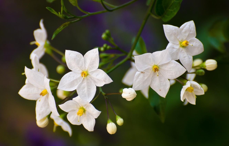 Картинка цветок паслен