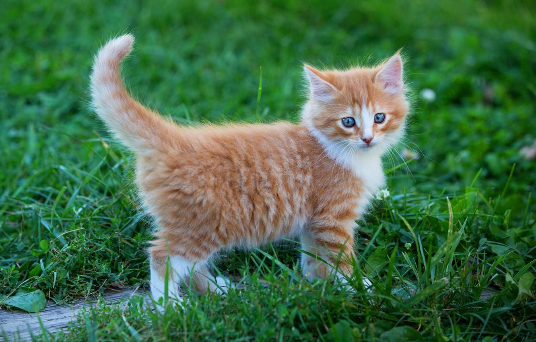 Фото обои зелень, кошка, лето, трава, взгляд, поза, котенок, фон, малыш, рыжий, прогулка, котёнок