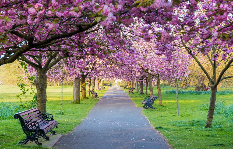 Фото обои деревья, цветы, скамейка, парк, весна, сакура, цветение, pink, blossom, park, tree, sakura, cherry, spring, bench