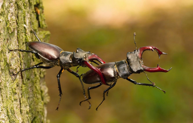 Фото обои дерево, битва, tree, battle, жук-олень, Petr Simon, stag beetle, Lucanus cervus