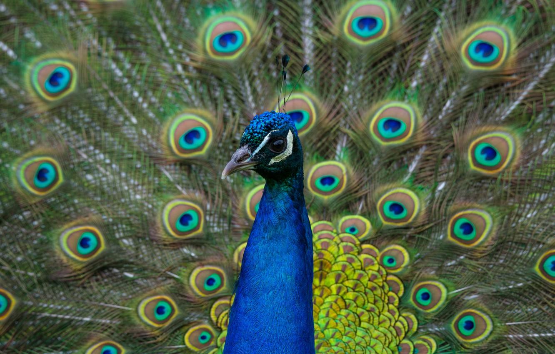 Фото обои взгляд, птица, портрет, хвост, павлин