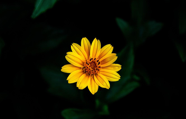 Фото обои цветок, желтый, фон, боке