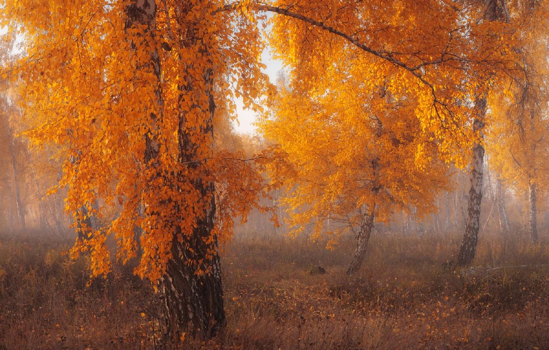 Фото обои осень, деревья, туман, береза
