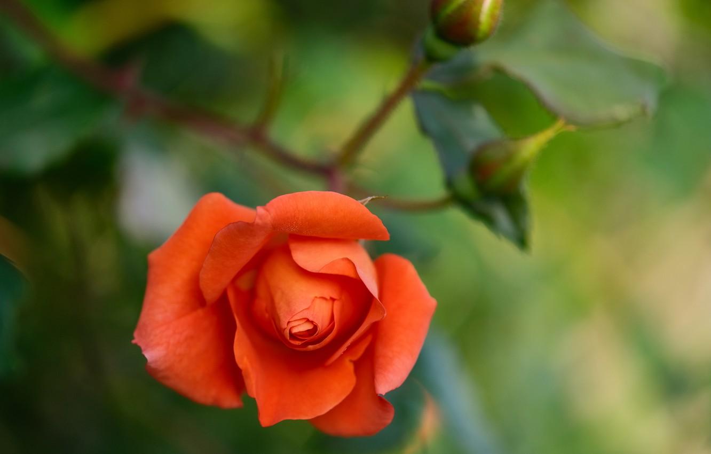 Фото обои макро, роза, оранжевая, бутоны