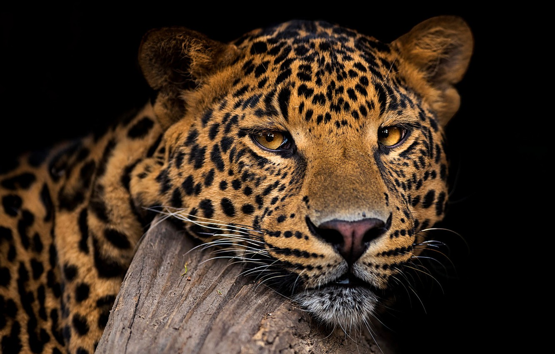 Фото обои взгляд, морда, портрет, леопард, черный фон, дикая кошка, красавец