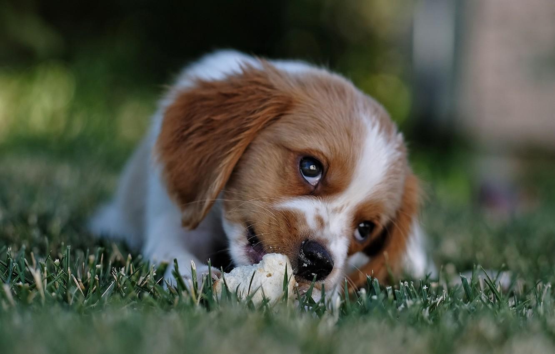 Фото обои трава, взгляд, морда, природа, животное, собака, хлеб, щенок, детёныш, пёс