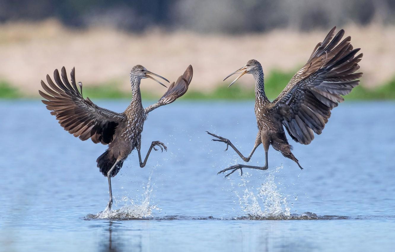Фото обои птицы, крылья, танец, клюв, пара