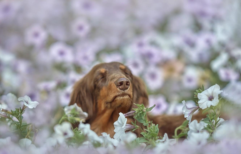 Фото обои цветы, природа, животное, собака, голова, пёс, петунья