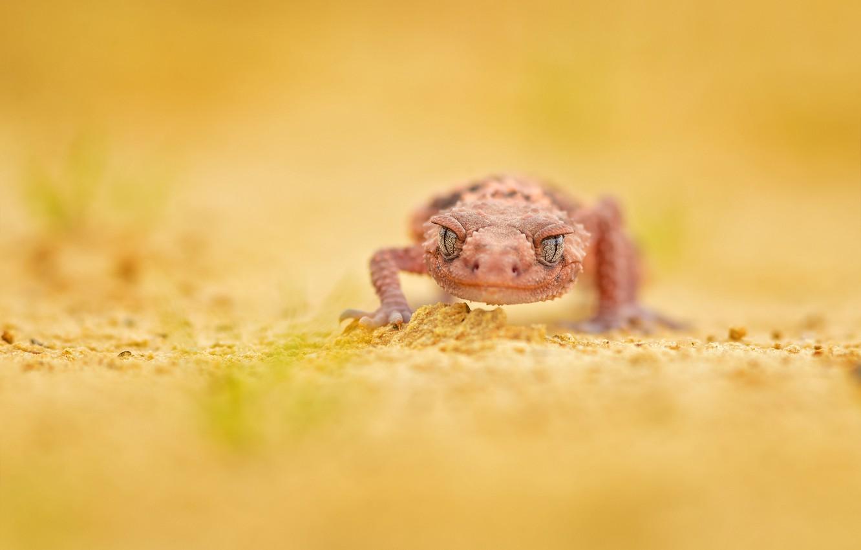 Фото обои ящерица, геккон, lizard, gecko, Milan Zygmunt