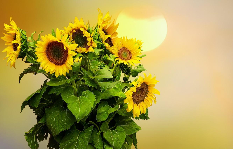Фото обои подсолнухи, цветы, фон