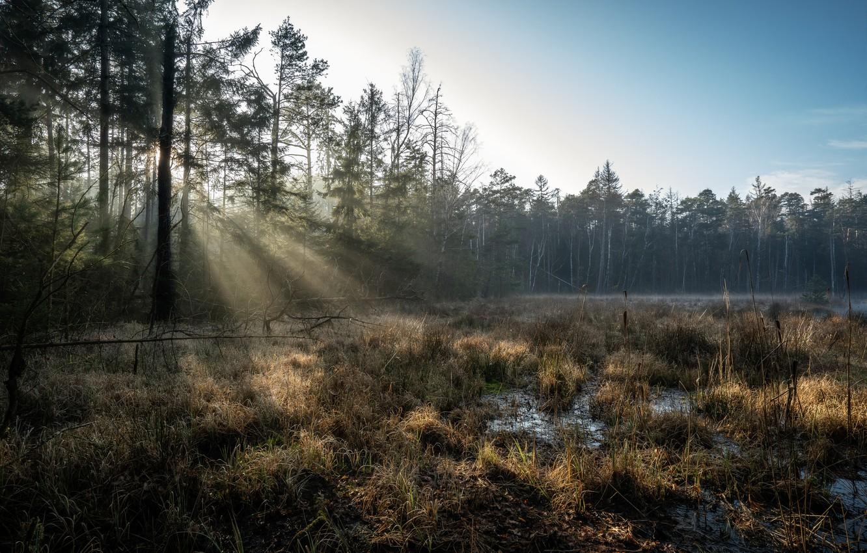 Фото обои лес, болото, утро, Германия, Grossdittmannsdorf