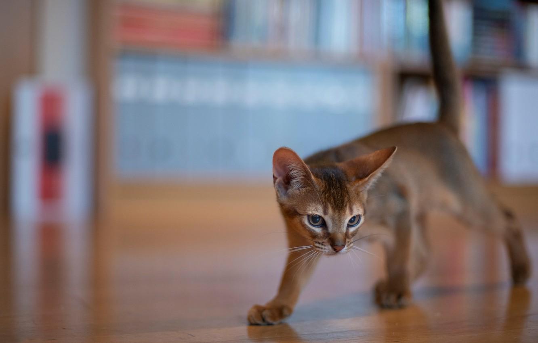 Фото обои котёнок, боке, котейка, Абиссинская кошка